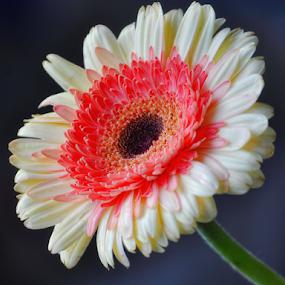 by Ayah Adit Qunyit - Flowers Single Flower (  )