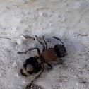 Telvet ant