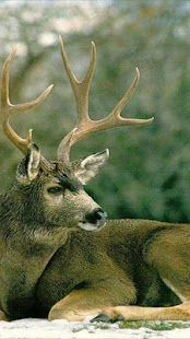 Deer Wallpapers - screenshot thumbnail