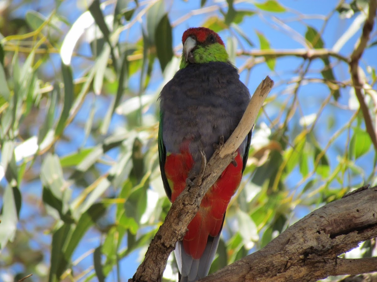 Red-capped Parrot