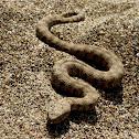 Lebetine viper