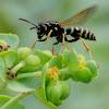 Paper wasp; Avispa cartonera
