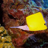 Forcep Fish / Yellow Longnose Butterflyfish