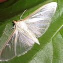 Four Spotted Palpita Moth