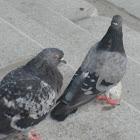 Blue Hill Pigeon