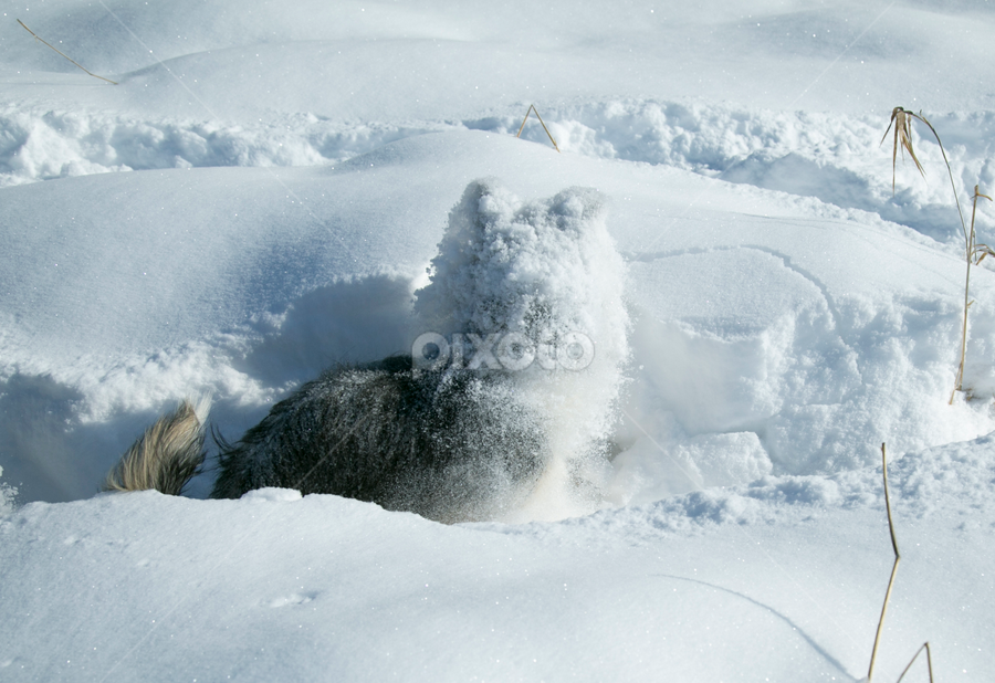 Incognito by Jacqui Sjonger - Animals - Dogs Playing ( snow dog, pet photography, outdoor photography, funny, dog portrait, pet portrait, winter, doggy, pet, snow, outdoors, dog playing, dog, cute dog,  )