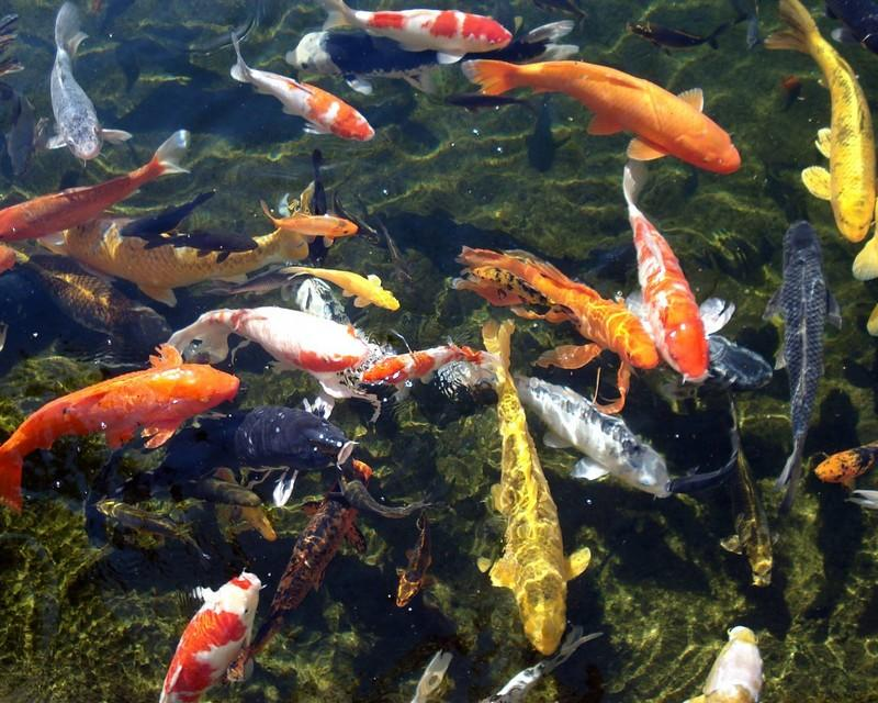 Koi Fish Hd Wallpaper Android Apps On Google Play