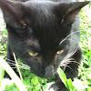 Demestic short hair cat