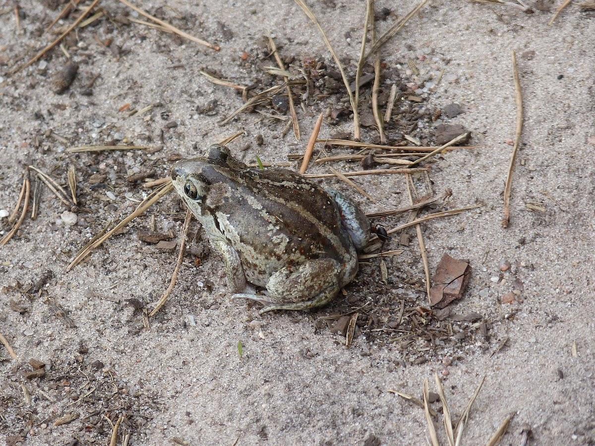 Common Spadefoot / Garlic Toad