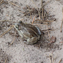 Common Spadefoot / Garlic Toad