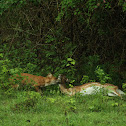 Indian Wild dog/Spotted deer