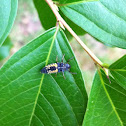 Multicolored Asian ladybug larva