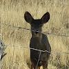 mule deer (doe and her fawn)