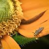 Fungus-eating Ladybird Beetle - Larva