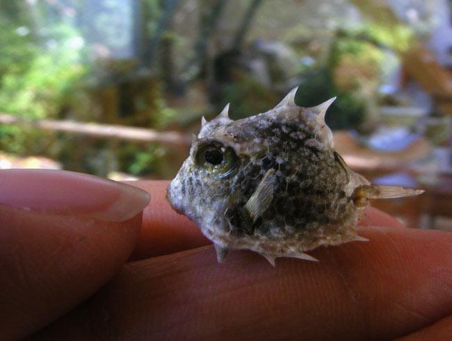 Turretfish