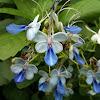Blue Butterfly Bush