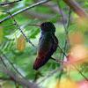 Hummingbird -  Pica Flor - Visita Flor