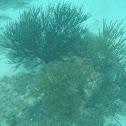 black sea rod or Caribbean sea whip