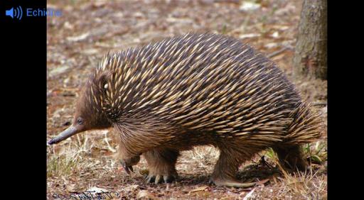 澳大利亚动物