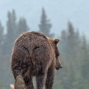 Bear foot by Marie Leander - Animals Other Mammals ( beards, bear, björn, alaska, wildlife )