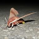 Coprosma Hawk Moth (laying eggs)