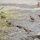 Eurasian Tree Sparrow / Burung Gereja (Ind)