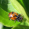 Spotted Amber Ladybird/White Collared Ladybird