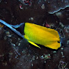 Big long-nosed butterflyfish