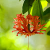 Coral/Fringed Hibiscus