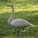 Whooper Swan (Wilde Zwaan)