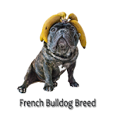 French bulldog Breed