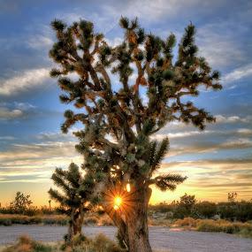 Joshua Tree Sunburst by Eddie Yerkish - Landscapes Deserts ( clouds, orange, desert, green, national, yellow, landscape, joshua, sun rays, preserve, sun, rays, sunburst, sky, tree, nature, blue, nikon,  )