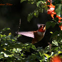 (Male) Rufous Hummingbird