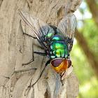 Golden Head Rutilia Fly