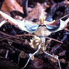 Mantis diablo