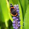 American Red Admiral Butterfly