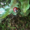 Asian Lady Beetle, Japanese Ladybug, Harlequin Lady Bird