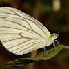 Gray-veined White