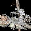 Wheel Bugs (mating)