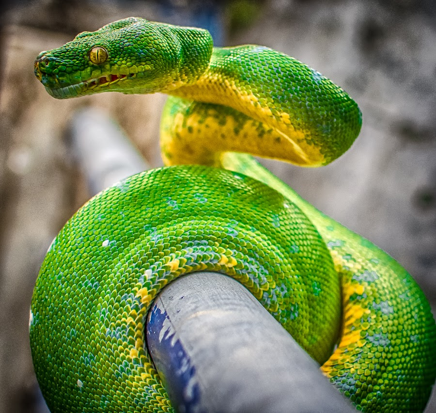 by Joy Advent - Animals Reptiles ( greentreephyton, snake, ular, green, phyton, gtp, reptile,  )