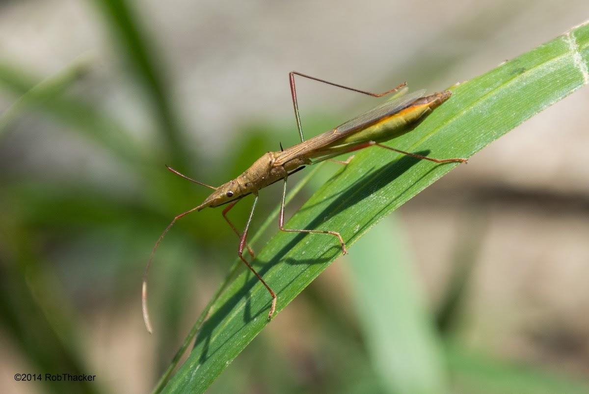Lesser Rice Bug