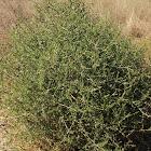 Tumbleweed, Russian thistle