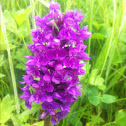 Northern Marsh-Orchid
