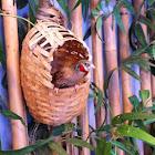 Cutthroat Finch