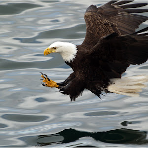 Eagle Fishing.jpg