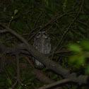 領角鴞 / Collard Scops Owl
