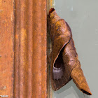Lappet moth Paralebeda sp.