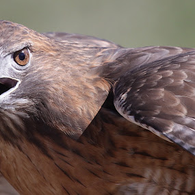 Get out of my way!  by Deb Bulger - Animals Birds ( nature, hawks, wildlife, redtail hawk, birds, raptors, , Redtal Hawk, Redtail Hawk contest )