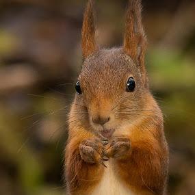 Squirrel by Rita Birkeland - Animals Other ( ekorn, wildlife, nikon, cute, squirrel, norway,  )