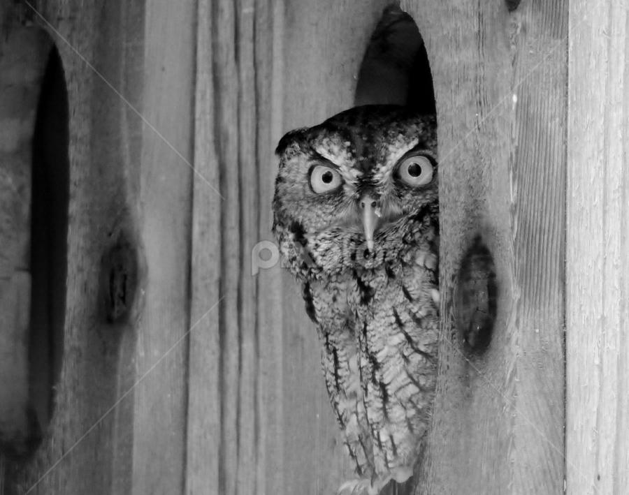 Screech in Rehab by Jamie Boyce - Black & White Animals ( rehab, b&w, wood, black and white, florida, owl, wildlife )